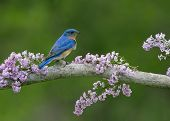 picture of bluebird  - Male Eastern Bluebird perched on a branch with lilacs  - JPG