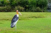 image of long-legged-birds  - Beautiful scenic of Painted Stork Bird standing in the field - JPG