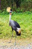 stock photo of long-legged-birds  - Beautiful crowned crane bird standing on the field - JPG