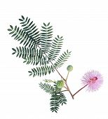 picture of mimosa  - Giant Sensitive flower branch  - JPG