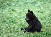picture of bear-cub  - a small black bear cub sitting on the grass - JPG