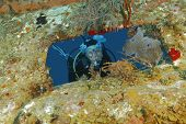 stock photo of shipwreck  - Scuba Diver Peering out From Opening in Shipwreck Encrusted in Corals and Sponges  - JPG