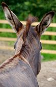 picture of horses ass  - Donkey photographed from behind his head on farm - JPG