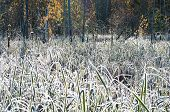 foto of cattail  - Cattail in frost after the first frost - JPG