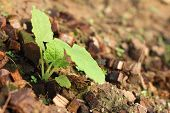 picture of germination  - Germination is the new life of green seedlings - JPG