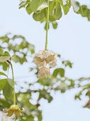 image of rainy season  - White Baobab flower  - JPG