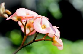 stock photo of thorns  - crown of thorns flower or Christ - JPG