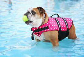 stock photo of aquatic animals  - a dog having fun at a local public pool - JPG