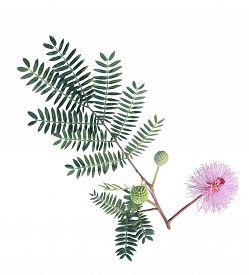 stock photo of mimosa  - Giant Sensitive flower branch  - JPG