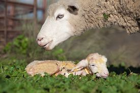 foto of baby sheep  - Baby lamb and her maternal sheep mother just after the birth Extremadura Spain - JPG
