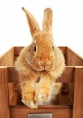 stock photo of wooden crate  - Cute brown rabbit in wooden crate isolated on white - JPG
