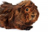 pic of guinea  - cute brown guinea pig on white background - JPG