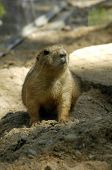 picture of prairie  - view of prairie dog at the zoo  - JPG