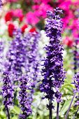 foto of purple sage  - purple flower  - JPG
