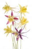 picture of columbine  - Studio Shot of Yellow and Red Colored Columbine Flowers Isolated on White Background - JPG