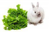 image of white rabbit  - White rabbit eating green salad isolated on white background - JPG