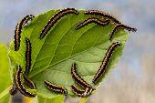 stock photo of caterpillar  - caterpillars of mol devour the leaves of  buttercup - JPG