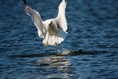 image of lifting-off  - a sea gull taking off from water - JPG
