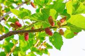 picture of mulberry  - Fresh ripe mulberry berries on tree  - JPG