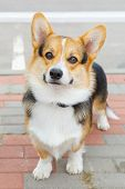 pic of corgi  - dog Pembroke Welsh corgi breed standing and smiling - JPG