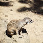 picture of meerkats  - Cute Meerkat or Suricate  - JPG