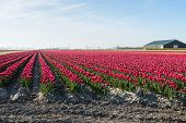 stock photo of red barn  - Barn next to converging plant beds with red flowering tulip plants at the nursery of a bulb grower in the Netherlands - JPG