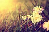 picture of daisy flower  - Spring - JPG
