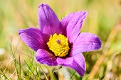 pic of common  - Pasque flower  - JPG