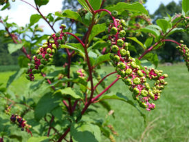 stock photo of pokeweed  - Wild pokeweed plant which can be used in salads - JPG