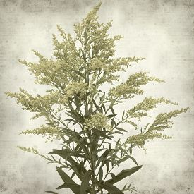 foto of goldenrod  - textured old paper background with Solidago goldenrod plant - JPG