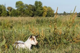 stock photo of baby goat  - White goat lies on grass in the evening - JPG