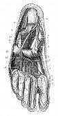 Deep plantar region, vintage engraved illustration. Usual Medicine Dictionary - Paul Labarthe - 1885 poster