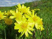 pic of adonis  - Flowers of adonis - JPG