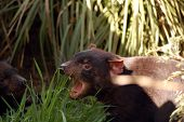 stock photo of taz  - Ferocious Tasmanian devil menacing another of its kind - JPG