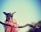 small dog in sunglasses or goggles sitting in bicycle basket licking his nose toned with a retro vi poster