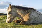 picture of appaloosa  - Color landscape photo of a Beautiful appaloosa foal sleeping - JPG