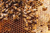 ������, ������: Working Bees On The Yellow Honeycomb With Sweet Honey