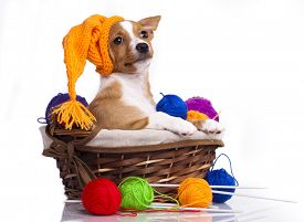 image of gnome  - Portuguese Podengo puppy in gnome hat  - JPG