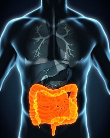 pic of intestines  - Human Intestine Anatomy Illustration  - JPG