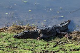picture of crocodile  - Mugger Crocodile  - JPG