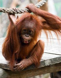 stock photo of orangutan  - A cute young orangutan  - JPG