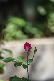 stock photo of rosa  - Pink rose - JPG