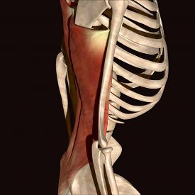 stock photo of sternum  - The rib cage is an arrangement of bones in the thorax of all vertebrates except the lamprey - JPG