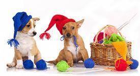 picture of gnome  - Portuguese Podengo puppy in gnome hat  - JPG