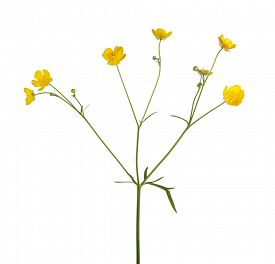 stock photo of buttercup  - wild golden buttercup flower isolated on white background - JPG