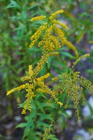 foto of goldenrod  - Beautiful yellow goldenrod flowers blooming. Beautiful flowers of autumn.
