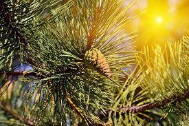 stock photo of pinus  - Pinus mugo - JPG