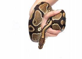 picture of pythons  - Holding in hand Ball Python  - JPG