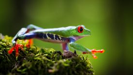 foto of red eye tree frog  - red eyed tree frog Costa Rica tropical rain forest animal - JPG