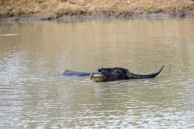 image of wallow  - Wallowing water buffalo in a waterhole - JPG